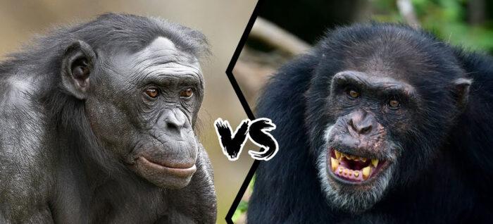 Čimpanze vs Gorile