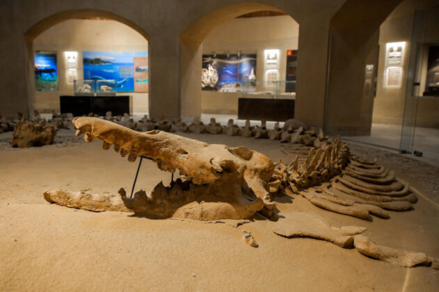 Šok otkriće – Naučnici otkrili fosil nove vrste kita s četiri noge i čudnom lobanjom