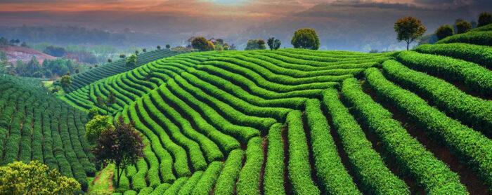 Turska izvozi crni čaj u 110 zemalja