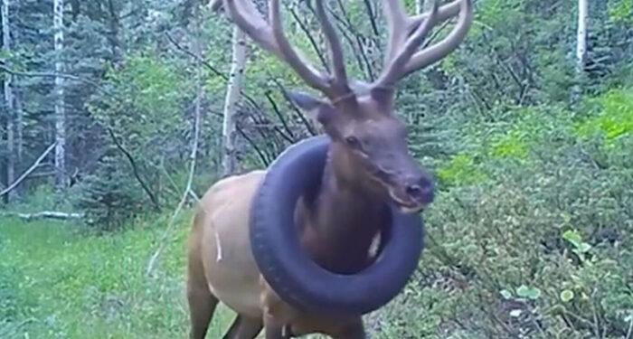 Službenici su morali da uspavaju jelena starog četiri i po godine